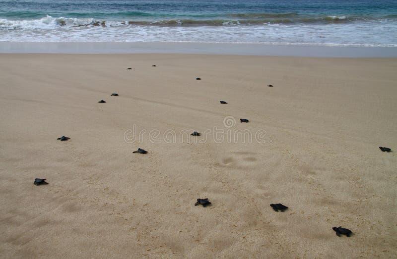 Tartaruga de mar chocada que deixa a pegadas na areia molhada nela a maneira do ` s no mar imagem de stock