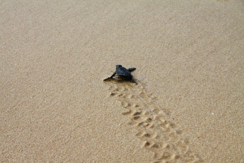 Tartaruga de mar chocada que deixa a pegadas na areia molhada nela a maneira do ` s no mar fotografia de stock royalty free