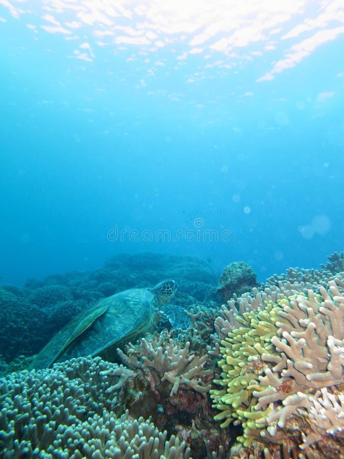 Tartaruga de mar com um tubarão no seu para trás imagens de stock