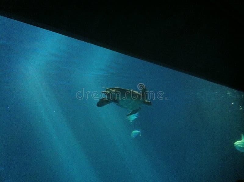 A tartaruga de mar da baía de Monterey imagem de stock royalty free