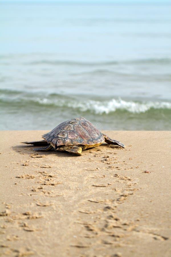 Tartaruga de mar da boba (caretta do Caretta) foto de stock