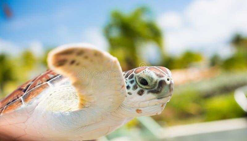 Tartaruga de mar de Brown no ar fotografia de stock royalty free