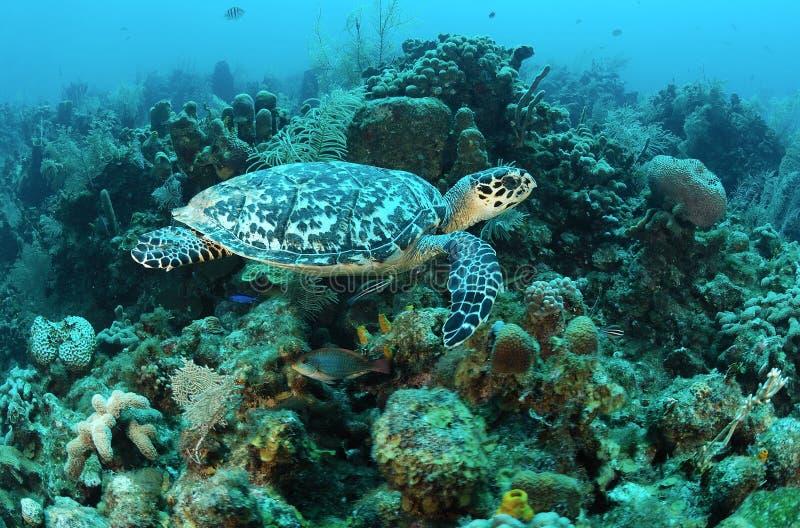 Tartaruga de mar de Hawksbill imagens de stock royalty free