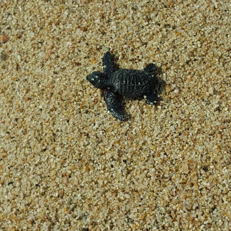 Tartaruga de mar do bebê imagem de stock