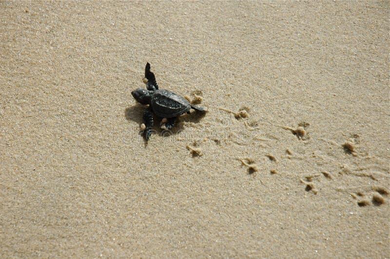 Tartaruga de mar do bebê em cópias da tartaruga foto de stock