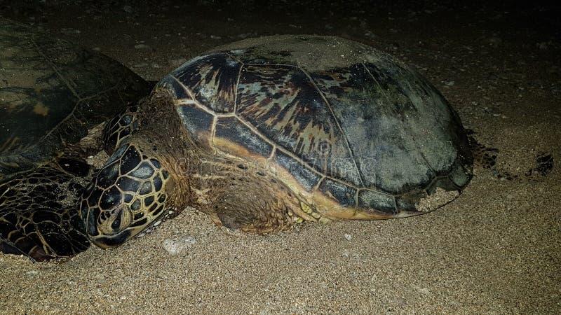 Tartaruga de mar do bebê em Havaí Maui imagens de stock royalty free