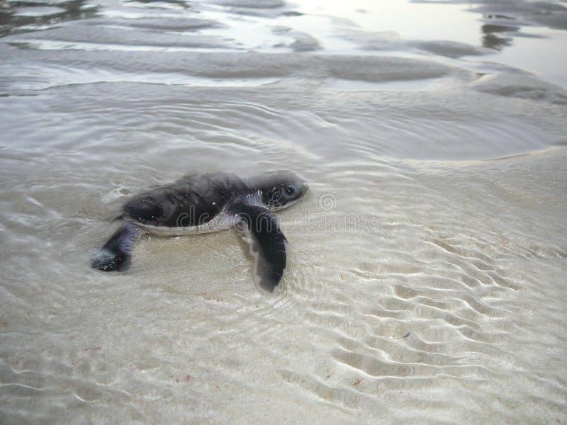 Tartaruga de mar do bebê na água imagem de stock