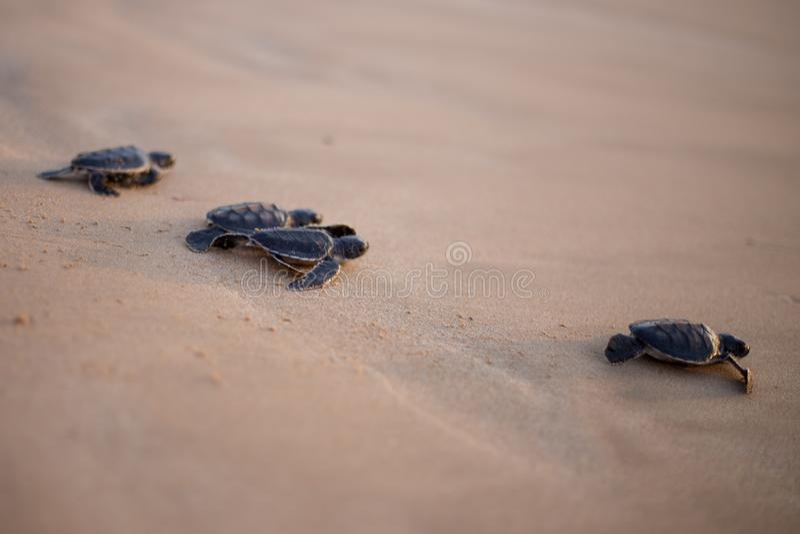 Tartaruga de mar do bebê na maneira ao mar fotos de stock royalty free