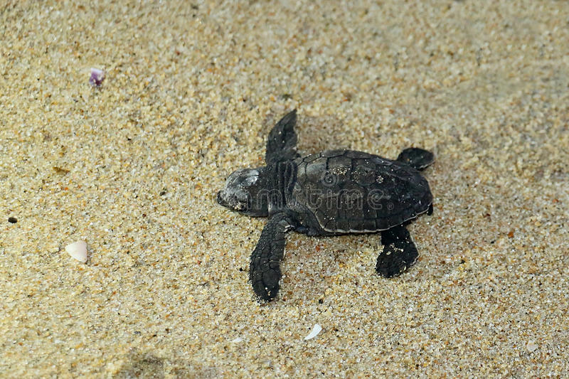Tartaruga de mar do bebê na praia imagens de stock royalty free