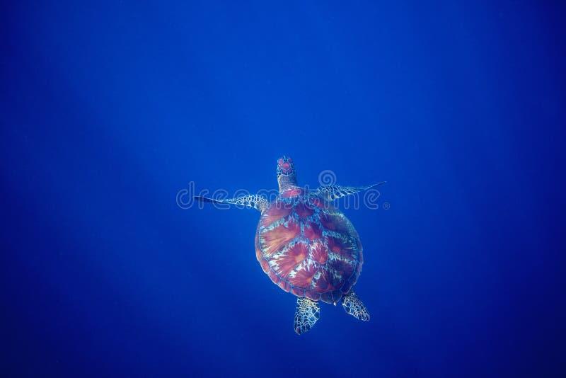 Tartaruga de mar e abismo azul do mar A tartaruga do mar nada no oceano azul profundo imagens de stock royalty free