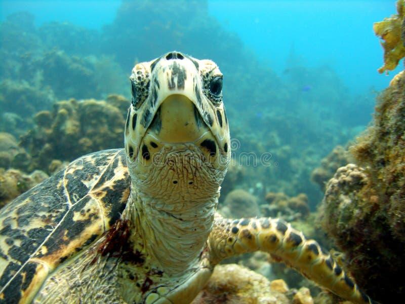 A tartaruga de mar encontra a cabeça do mergulhador de mergulhador sobre imagem de stock royalty free
