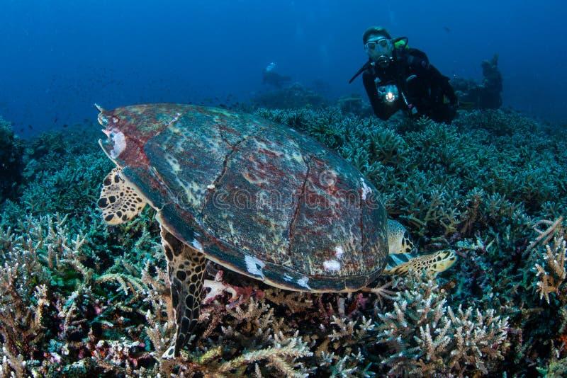 Tartaruga de mar de Hawksbill que alimenta no recife em Indonésia foto de stock