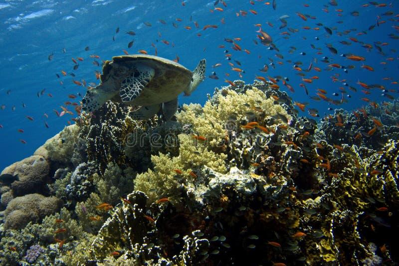 Tartaruga de mar na superfície, recife de corais fotografia de stock