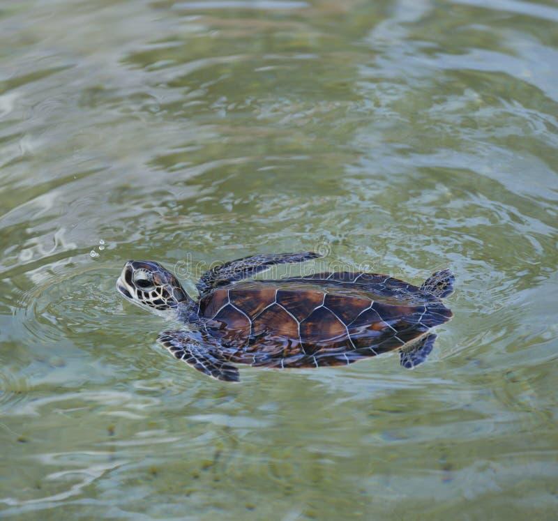 Tartaruga de mar nova imagem de stock