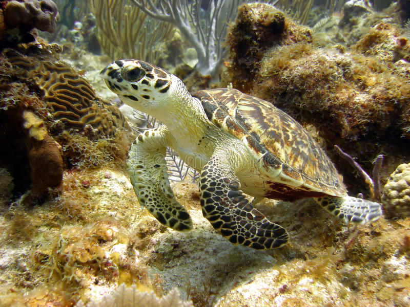 A tartaruga de mar olha em um mergulhador de passagem fotos de stock royalty free