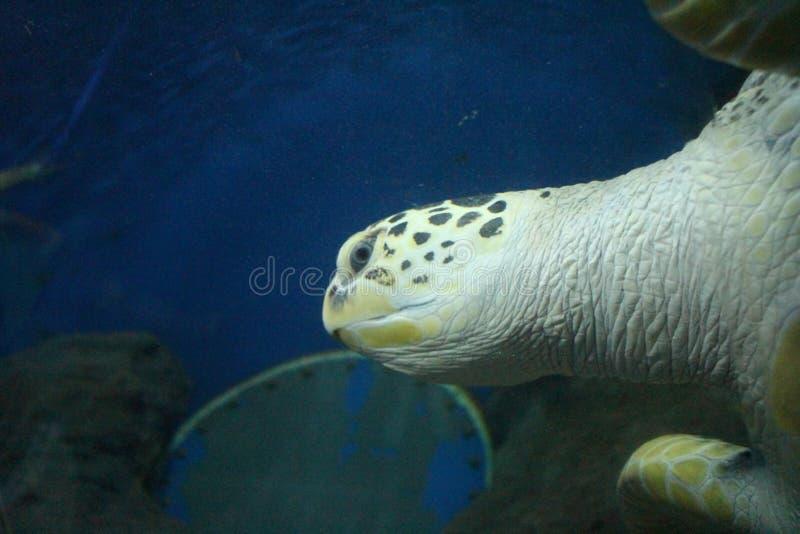 Tartaruga de mar principal fotografia de stock royalty free