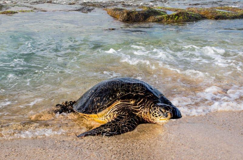Tartaruga de mar que chega na costa foto de stock