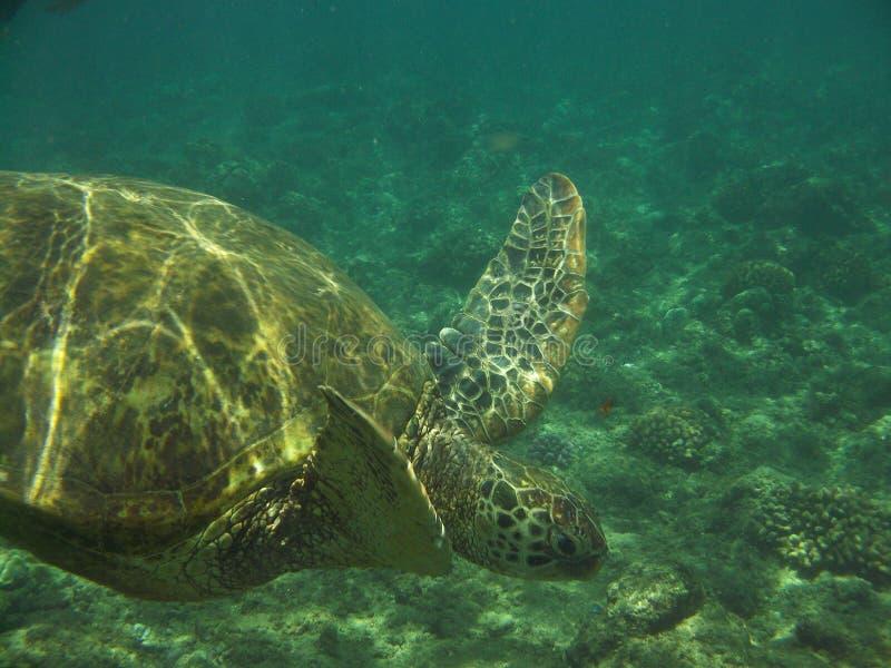 Tartaruga de mar que mergulha debaixo d'água fotografia de stock