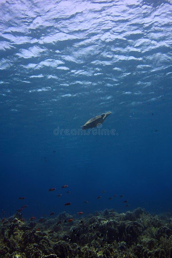 Tartaruga de mar, recife de corais fotos de stock royalty free