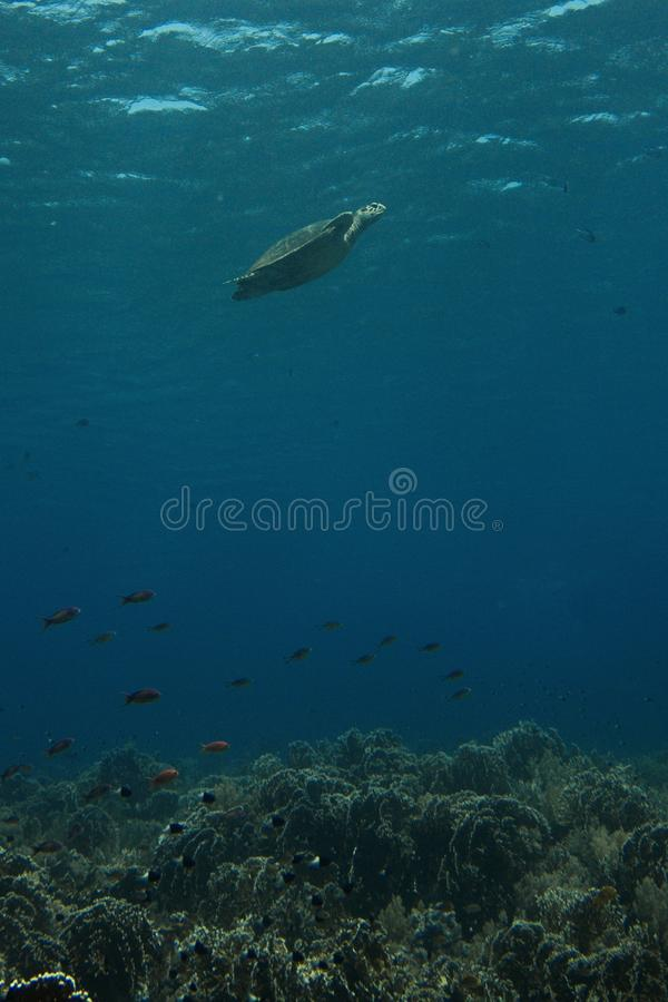 Tartaruga de mar, recife de corais imagem de stock