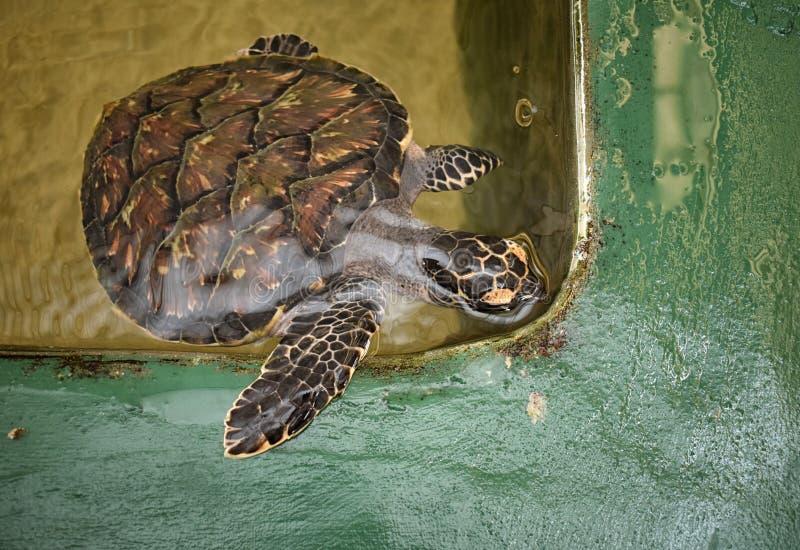 Tartaruga de mar salvada foto de stock royalty free