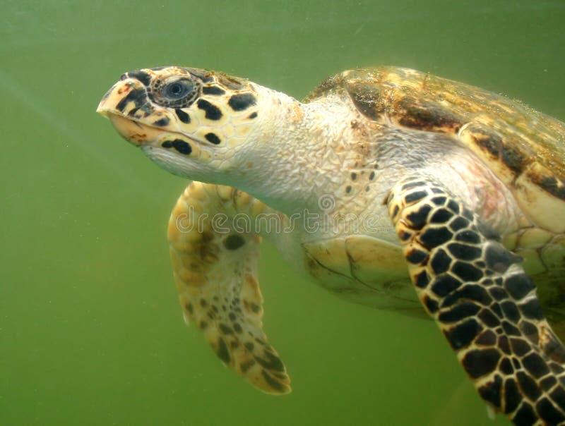 Tartaruga de mar subaquática imagens de stock royalty free