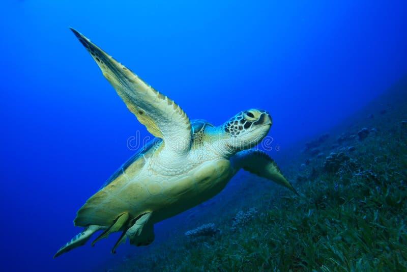 Tartaruga de mar verde fotos de stock
