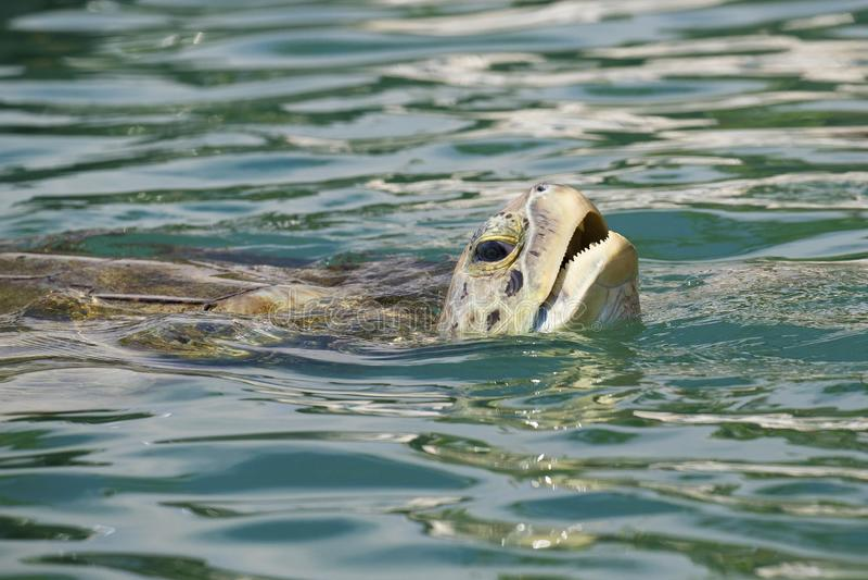 Tartaruga de mar verde da ilha de Grand Cayman foto de stock