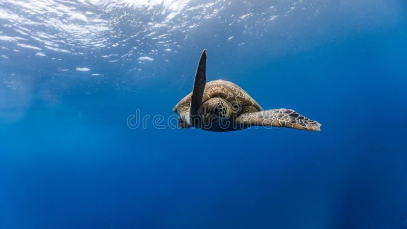 A tartaruga de mar verde desce após a respiração da superfície imagem de stock