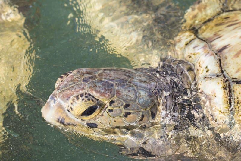 Tartaruga de mar verde do close-up da ilha de Grand Cayman foto de stock
