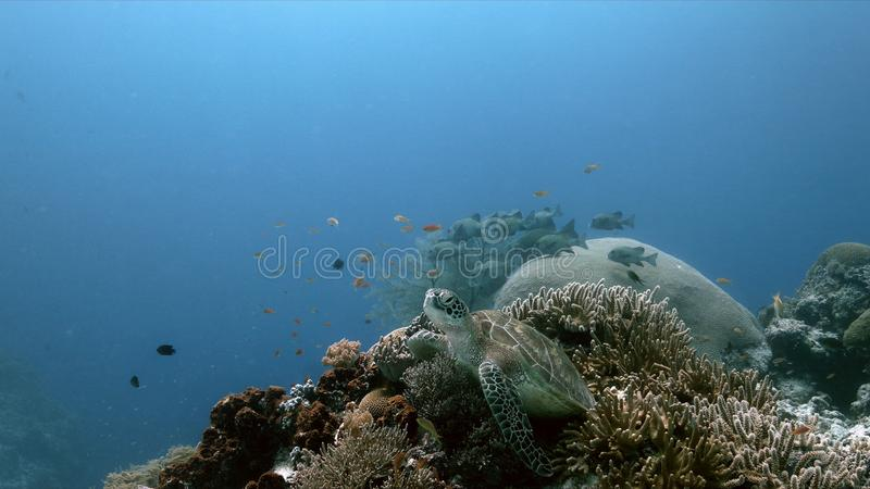 Tartaruga de mar verde em um recife de corais com Anthias e Sweetlips imagens de stock