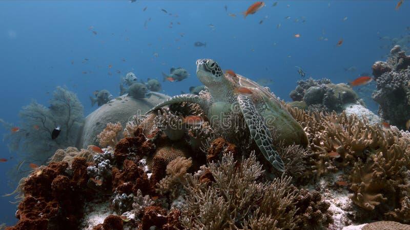 Tartaruga de mar verde em um recife de corais com Anthias e Sweetlips imagens de stock royalty free