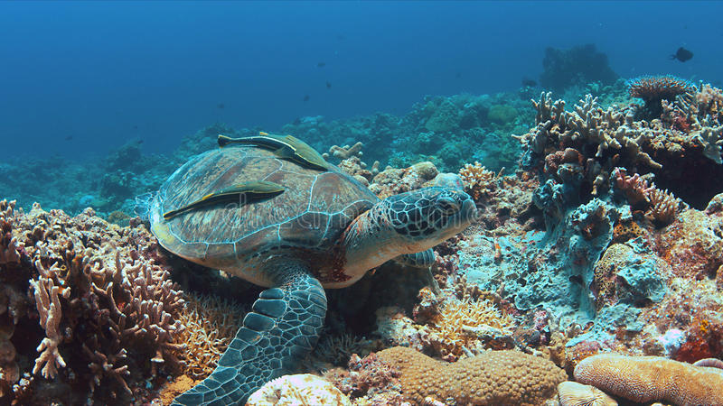 Tartaruga de mar verde em um recife de corais foto de stock