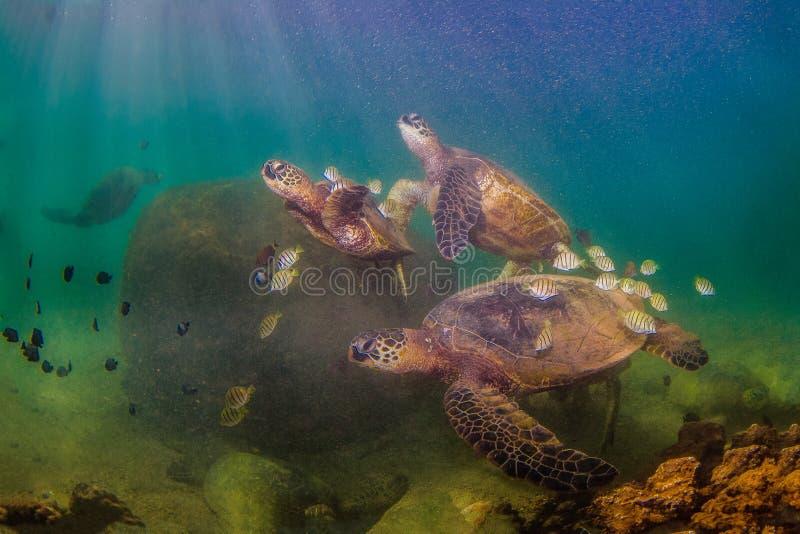 Tartaruga de mar verde havaiana que cruza nas águas mornas do Oceano Pacífico fotos de stock