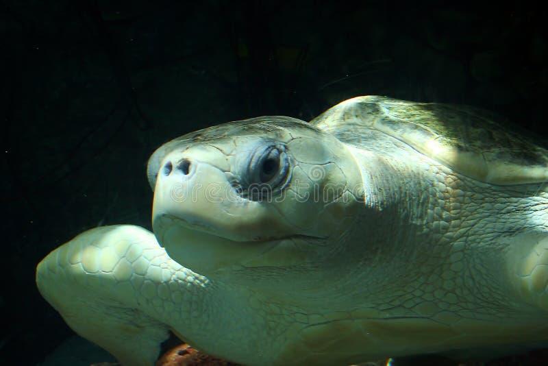 Tartaruga de mar verde-oliva de Ridley fotografia de stock royalty free