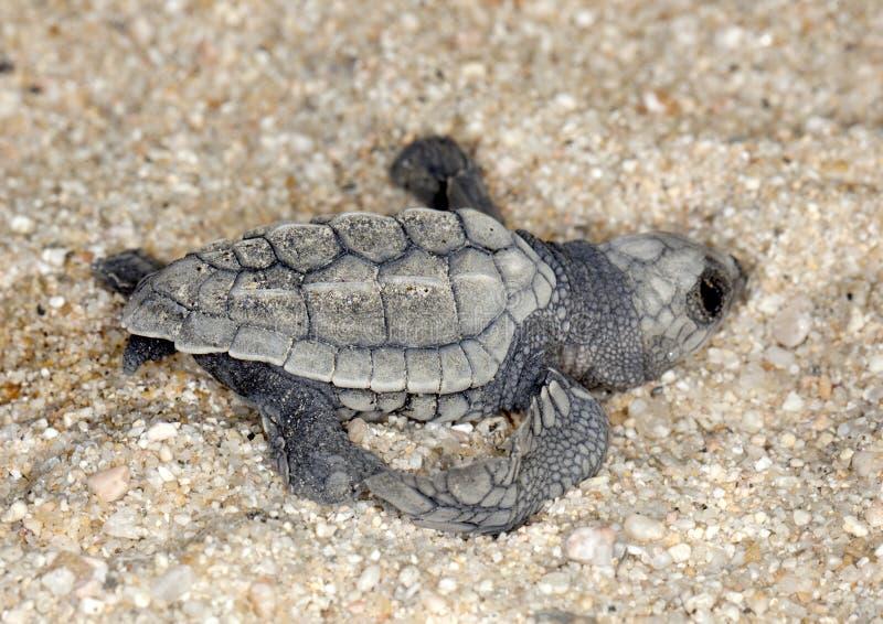 Tartaruga de mar verde-oliva de Ridley (olivacea do Lepidochelys) fotografia de stock
