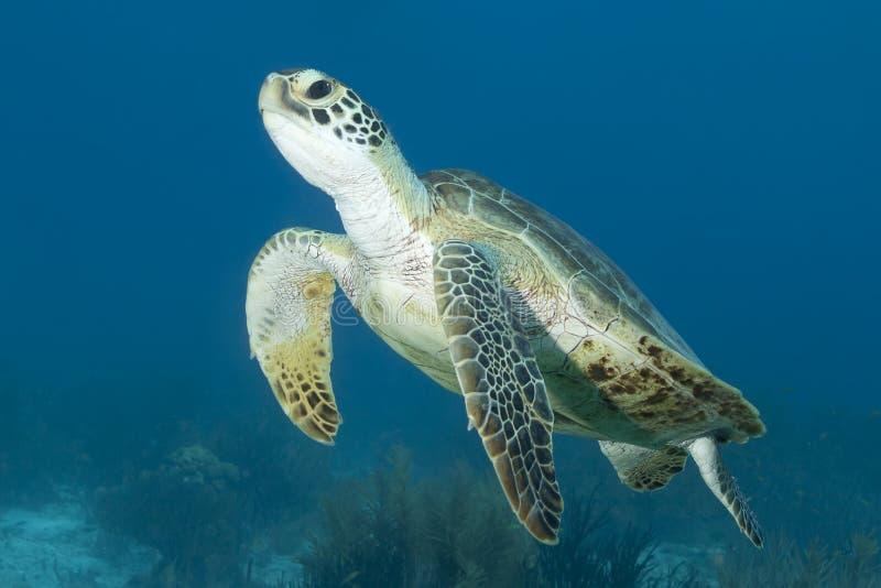 Tartaruga de mar verde subaquática imagens de stock