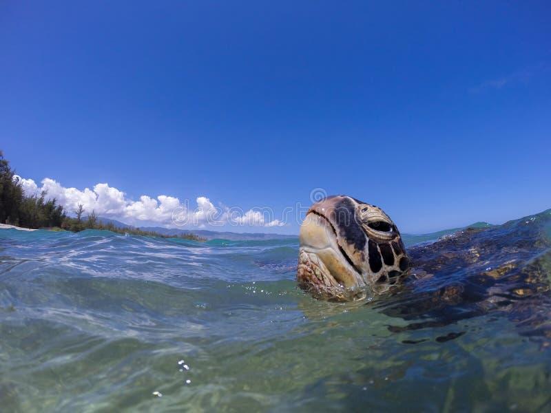 Tartaruga de respiração imagens de stock