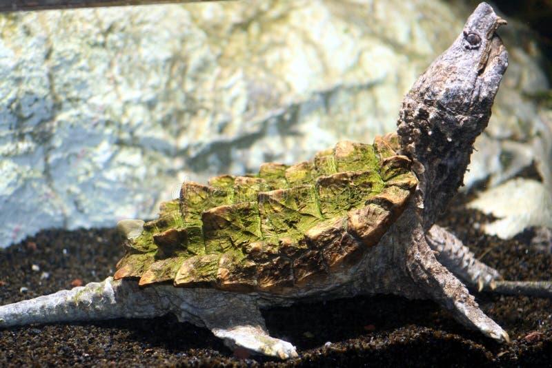 Tartaruga del Amazon immagini stock