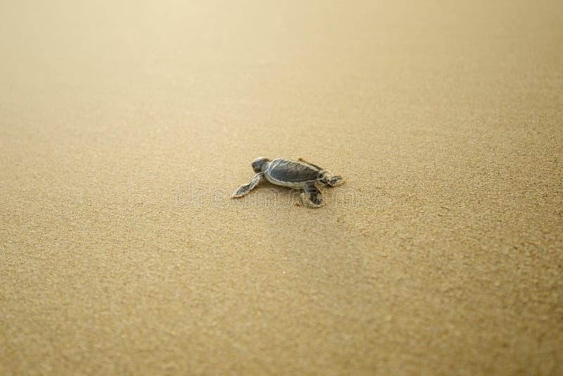 Tartaruga del bambino che cammina sulla spiaggia sabbiosa fotografia stock libera da diritti