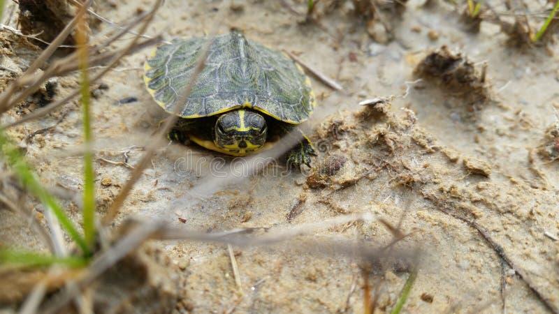 Tartaruga del bambino nel selvaggio fotografie stock libere da diritti