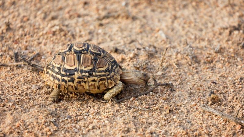 Tartaruga del leopardo immagini stock
