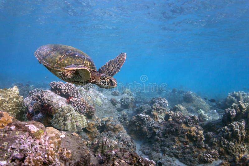 Tartaruga delle Hawai fotografia stock