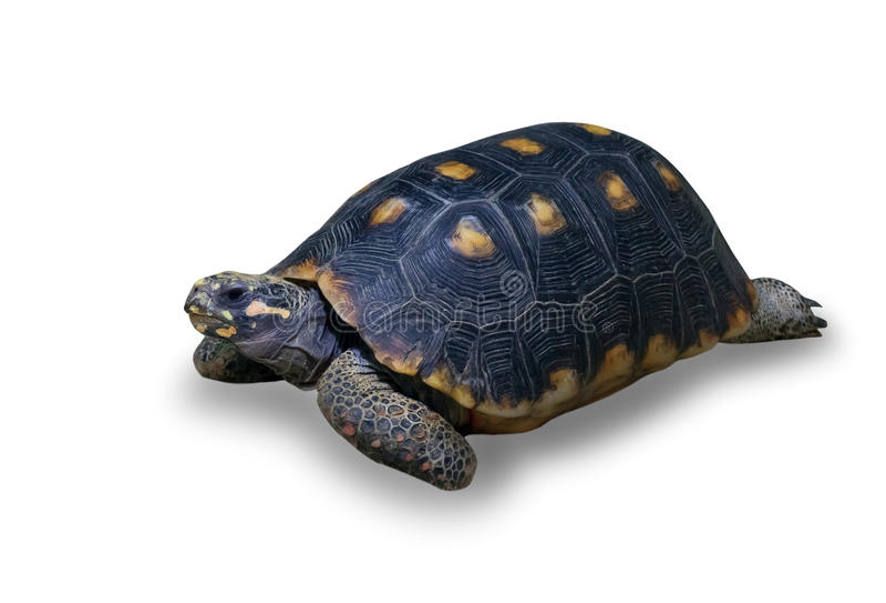 Tartaruga dello sbarco fotografie stock libere da diritti