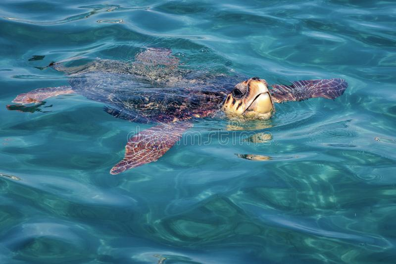 Tartaruga di caretta caretta da Zacinto fotografia stock