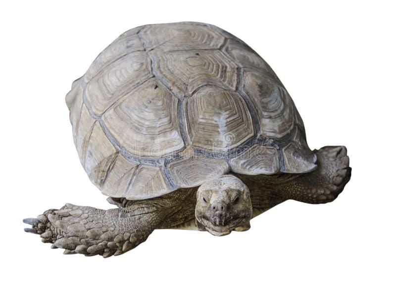 Tartaruga di deserto molto grande della tartaruga di Brown nella sabbia che cammina, terra-abitazione lenta fotografie stock