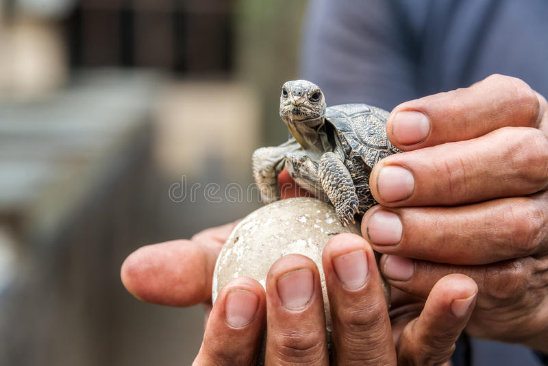 Tartaruga di Galapagos del bambino fotografia stock libera da diritti