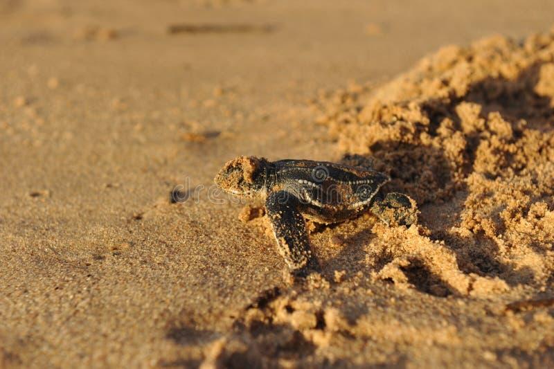 tartaruga di mare appena nata di Leatherback fotografia stock