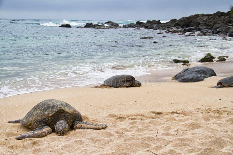 Tartaruga di mare che riposa sulla spiaggia fotografie stock libere da diritti