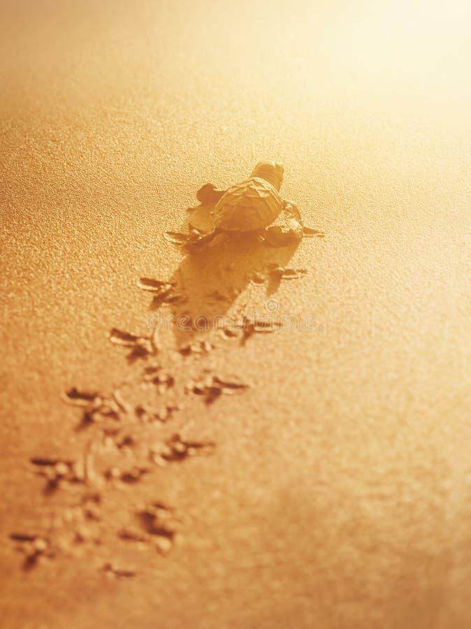 Tartaruga di mare del leatherback del bambino che viaggia verso la luce solare sulla spiaggia Trinidad e Tobago immagine stock